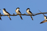 House Martins (Delichon Urbicum) Perched on Wire, with Another in Flight, Extremadura, Spain, April Photographic Print by  Varesvuo