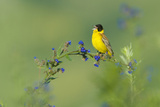 Black-Headed Bunting (Emberiza Melanocephala) Male Perched Singing, Bulgaria, May 2008 Photographie par  Nill