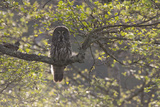 Great Grey Owl (Strix Nebulosa) Backlit in Alder Tree, Bergslagen, Sweden, June 2009 Photographic Print by  Cairns