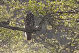 Great Grey Owl (Strix Nebulosa) Backlit in Alder Tree, Bergslagen, Sweden, June 2009 Photographic Print by  Cairns