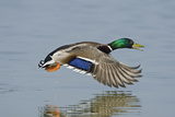 Mallard (Anas Platyrhynchos) Male Flying Low over Water. Cambridgeshire Fens, England, March Photographic Print by David Tipling