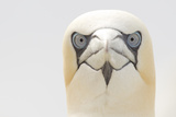 Gannet (Morus Bassanus) Portrait, Bass Rock, Firth of Forth, Scotland, UK, June Photographic Print by Peter Cairns