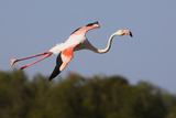 Greater Flamingo (Phoenicopterus Roseus) in Flight, Camargue, France, May 2009 Photographic Print by  Allofs