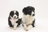 Border Collie Adult and Puppy Photographic Print by Mark Taylor