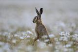 European Hare (Lepus Europaeus) Standing Up in Field of Ox-Eye Daisies (Leucanthemum) Norfolk, UK Photographic Print by David Tipling