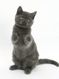 Grey Kitten Sitting Up with Paws Raised Photographic Print by Mark Taylor