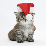 Main Coon Kitten, Goliath, Wearing a Father Christmas Hat Photographic Print by Mark Taylor