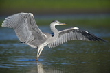 Grey Heron with Wings Out Stretched, Elbe Biosphere Reserve, Lower Saxony, Germany, September Photographic Print by  Damschen