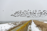 Flock of Dark-Bellied Brent Geese (Branta Bernicla) Flying over Sea Wall, South Swale, Kent Photographic Print by Terry Whittaker