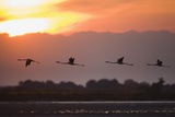 Greater Flamingos (Phoenicopterus Roseus) in Flight, Silhouetted at Sunrise, Camargue, France, May Photographic Print by  Allofs