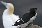 Razorbill (Alca Torda) on Rock with a Gannet (Morus - Sula Bassana) Behind, Saltee Islands, Ireland Photographie par Hermansen