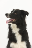Border Collie Portrait Photographic Print by Mark Taylor