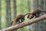 Pine Marten (Martes Martes) Two 4 Month Kits Running Along Branch, Caledonian Forest, Scotland, UK Photographic Print by Terry Whittaker