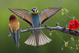 European Bee-Eater (Merops Apiaster) Pair, Male Displaying, Pusztaszer, Hungary, May 2008 Photographic Print by Varesvuo