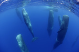 Sperm Whales (Physeter Macrocephalus) Resting, Pico, Azores, Portugal Photographic Print by  Lundgren
