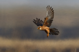 Red Footed Falcon (Falco Vespertinus) Hunting, Bagerova Steppe, Kerch Peninsula, Crimea, Ukraine Photographic Print by  Lesniewski