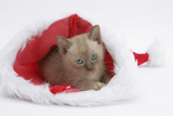 Burmese Kitten in a Father Christmas Hat Photographic Print by Mark Taylor