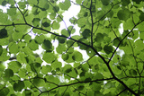 View of Underside of Lime (Tilia Sp) Leaves on a Branch, Moricsala Island, Lake Usma, Latvia Photographic Print by  López