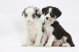 Two Border Collie Puppies Sitting Photographic Print by Mark Taylor