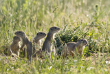 European Souslik (Spermophilus Citellus) Family, Slovakia, Europe, June 2008 Photographic Print by  Wothe