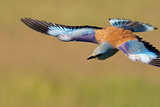 European Roller (Coracias Garrulus) in Flight, Pusztaszer, Hungary, May 2008 Photographic Print by  Varesvuo