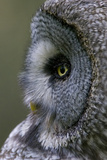Great Grey Owl (Strix Nebulosa) Close-Up of Head, Northern Oulu, Finland, June 2008 Fotoprint van  Cairns