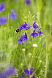 Field Larkspur (Consolida Regalis - Delphinium Consolida) with Bumble Bee Flying by, Slovakia Photographic Print by  Wothe
