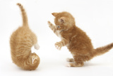 Two Ginger Kittens, 7 Weeks, Play-Fighting Photographic Print by Mark Taylor