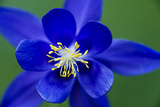 Columbine (Aquilegia Sp) Flower, Triglav National Park, Slovenia, June 2009 Photographic Print by  Zupanc