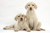 Yellow Labrador Retriever Puppies, 10 Weeks Photographic Print by Mark Taylor