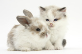 Colourpoint Kitten with Baby Rabbit Photographic Print by Mark Taylor