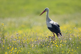 White Stork (Ciconia Ciconia) in Flower Meadow, Labanoras Regional Park, Lithuania, May 2009 Photographic Print by  Hamblin