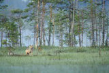 Wild European Grey Wolf (Canis Lupus) Kuhmo, Finland, July 2008 Photographic Print by  Widstrand