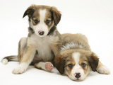 Sable Border Collie Puppies Lying Photographic Print by Mark Taylor