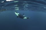 Killer Whale - Orca (Orcinus Orca) Just Below the Surface, Kristiansund, Nordmøre, Norway Photographic Print by  Aukan