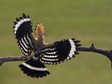 Hoopoe (Upupa Epops) Landing on Branch, Rear View with Wings Open, Hortobagy Np, Hungary, May 2008 Papier Photo par  Varesvuo