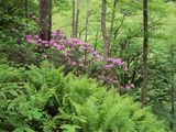 Mountain Forest with Flowering Rhododendron, Mtirala National Park, Georgia, May 2008 Photographic Print by  Popp