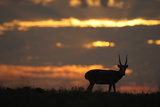 Male Saiga Antelope (Saiga Tatarica) Silhouetted, Cherniye Zemli (Black Earth) Nr, Kalmykia, Russia Photographic Print by  Shpilenok