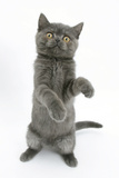 Grey Kitten Reaching Up Photographic Print by Mark Taylor