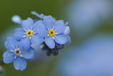 Alpine Forget-Me-Not (Myosotis Asiatica) in Flower, Liechtenstein, June 2009 Photographic Print by  Giesbers