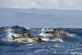 Common Dolphins (Delphinus Delphis) Porpoising, Pico, Azores, Portugal, June 2009 Photographic Print by  Lundgren