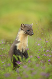 Pine Marten (Martes Martes) Female, Portrait, in Caledonian Forest, the Black Isle, Scotland, UK Photographic Print by Terry Whittaker