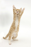 Ginger Kitten Standing Up on Hind Legs Photographic Print by Mark Taylor