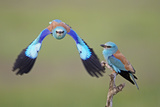 European Roller (Coracias Garrulus) Pair, One in Flight, Pusztaszer, Hungary, May 2008 Photographic Print by  Varesvuo