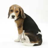 Beagle Puppy, Sitting and Looking Round Photographic Print by Mark Taylor