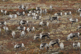 Reindeer (Rangifer Tarandus) Herd Grazing, Forollhogna National Park, Norway, September 2008 Photographic Print by  Munier