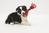 Border Collie Puppy with Rope Toy Photographic Print by Mark Taylor