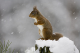 Red Squirrel (Sciurus Vulgaris) in Snow, Glenfeshie, Cairngorms Np, Scotland, February Photographic Print by  Cairns