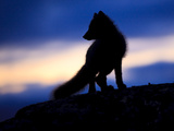 Arctic Fox (Vulpes Lagopus) Silhouetted at Twilight, Greenland, August 2009 Photographic Print by  Jensen