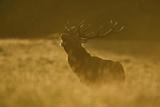 Red Deer (Cervus Elaphus) Calling at Sunset, During Rut, Klampenborg Dyrehaven, Denmark, September Photographic Print by  Möllers